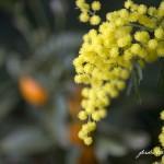 ORTOGIARDINO Mimose 6749